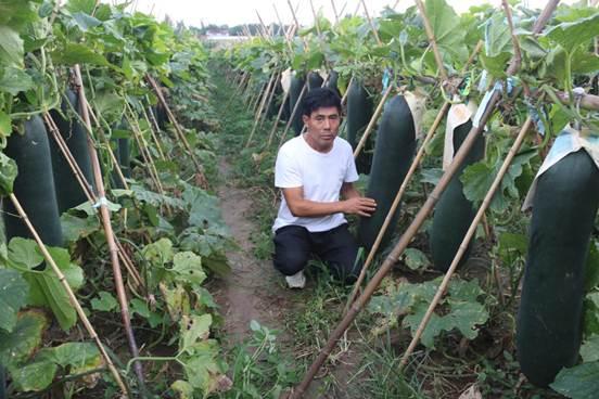 王孟镇农民种植的吊冬瓜喜获丰收